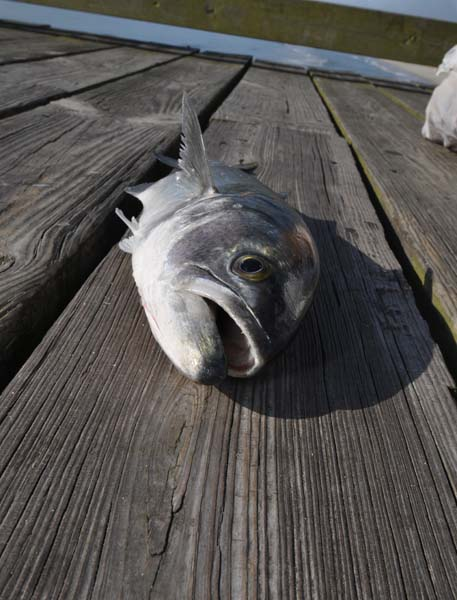 Bluefish - Kure Pier