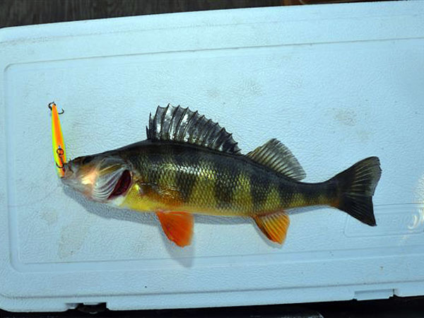 This yellow perch struck a small Rapala floating minnow at  Greenfield Lake.