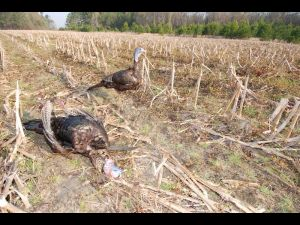 Turkey, Real Hen Decoy SC 031